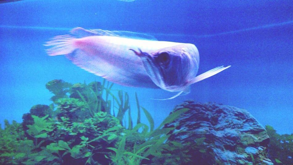 Arowana Showoffyourtail Pet Petfish Monsterfish 🐟😋