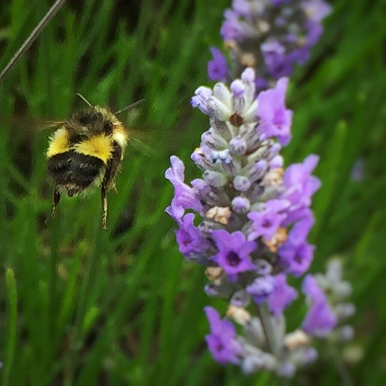 Bee coming in for a landing! Hello World Macro Photography Beauty In Nature Flowers, Nature And Beauty Beautifulflowerseveryday Iphonephotography Bees Bees And Flowers Bees Photography