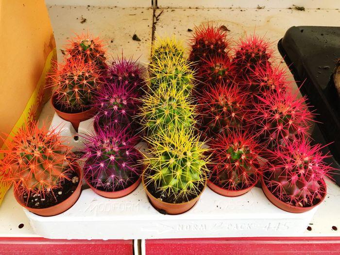 Cactus Flowers,Plants & Garden Beauty Colors