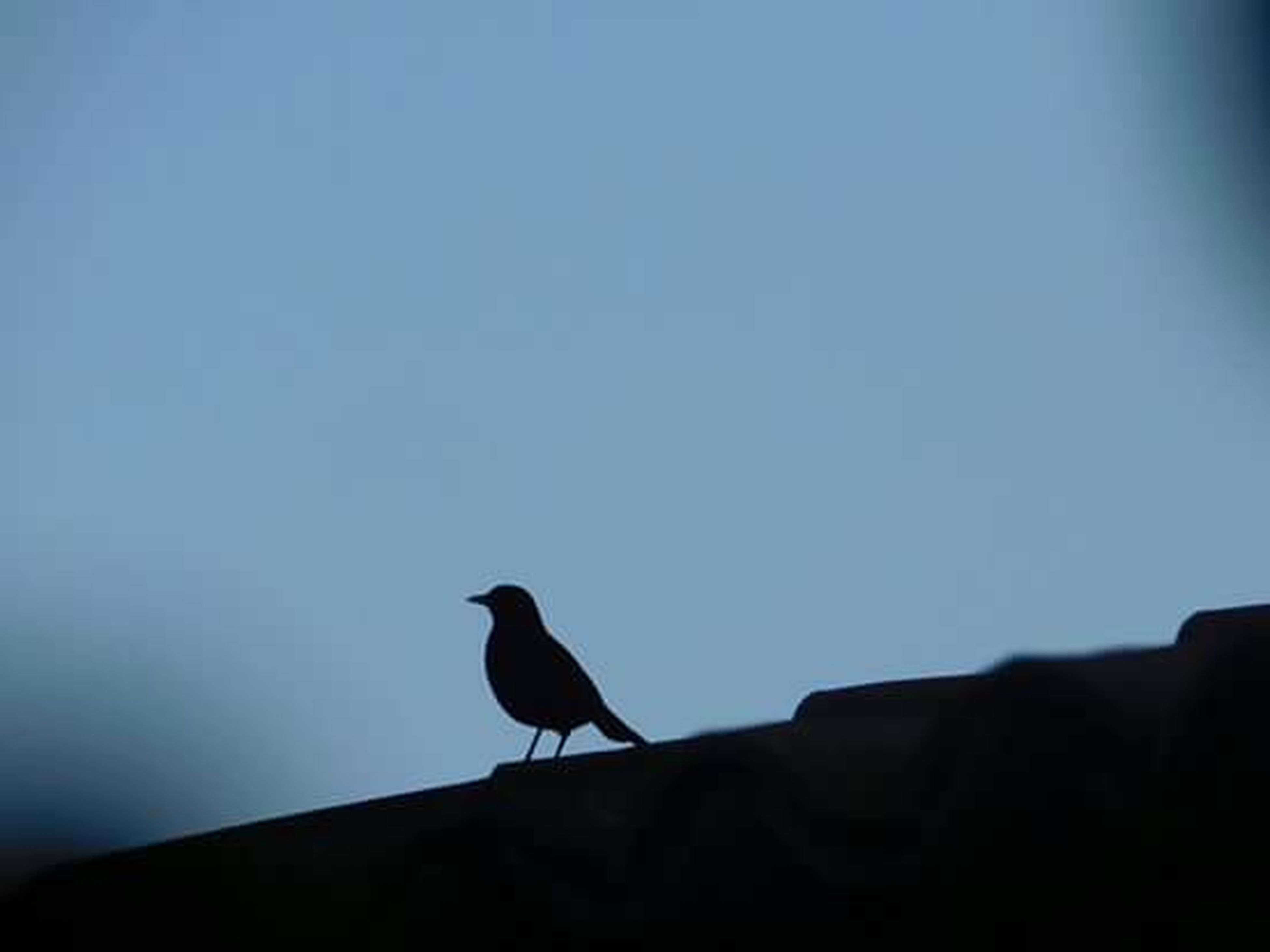 bird, animal themes, animals in the wild, wildlife, one animal, perching, clear sky, silhouette, copy space, low angle view, nature, full length, pigeon, zoology, outdoors, no people, flying, dusk, sky, two animals