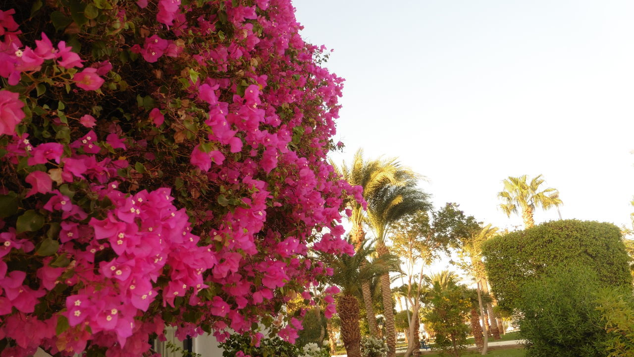 tree, growth, flower, beauty in nature, nature, outdoors, low angle view, no people, clear sky, day, palm tree, plant, fragility, sky, freshness