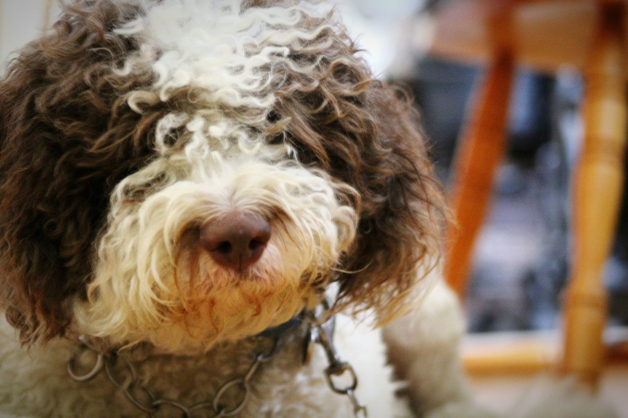 Lagotto Romagnolo LaGottoRomagnolo Dogs Dogs Life Dog Portrait Dog Lounging Long Hair Dog Pets Pet Photography  Cute Dogs Truffle Dog Truffle Business Italian Dog