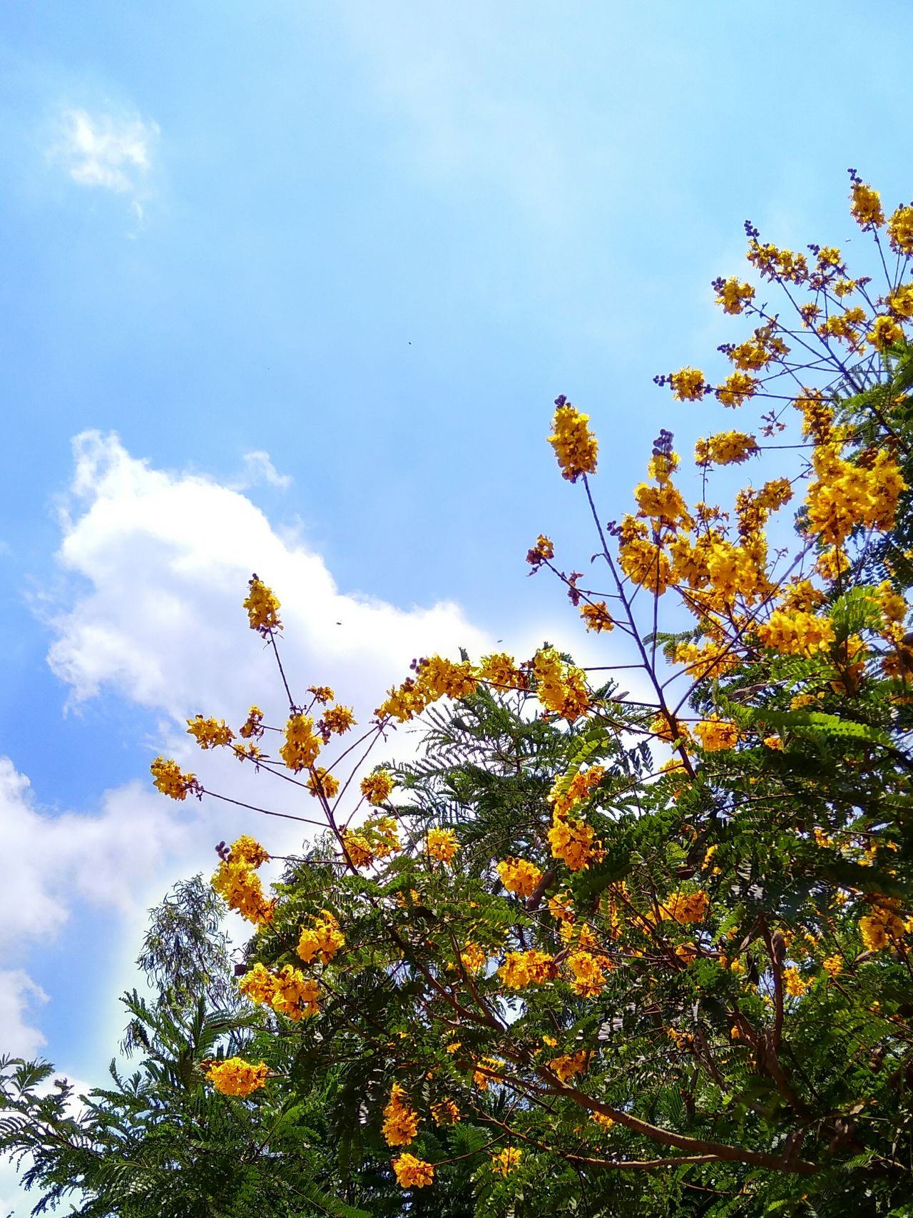 Golden flowers touching the sky... Tree Low Angle View Beauty In Nature Nature Sky Day Flower Outdoors EyeEm Selects EyeEmNewHere