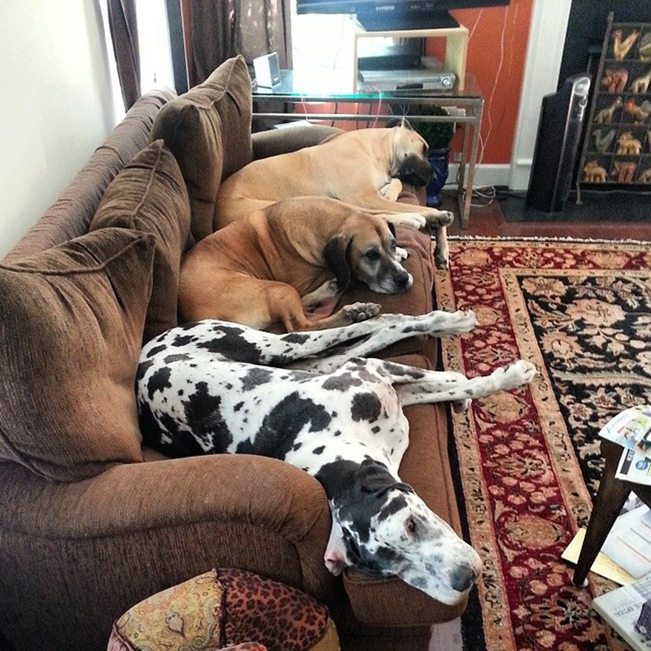 7 foot couch. ....so happy to see the Danes have a place to rest their weary heads! Sleepypups Greatdanelover Greatfriends  Greatdanes