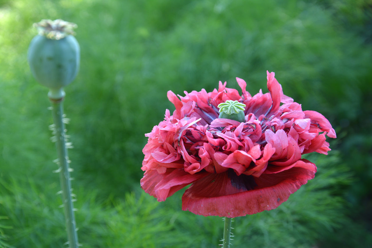 Giant poppy flower Blooming Close-up Flower Flower Collection Flower Head Focus On Foreground Fragility Freshness Full Frame Garden Garden Flowers Growth Nature No People Outdoors Petal Pink Color Plant Poppy