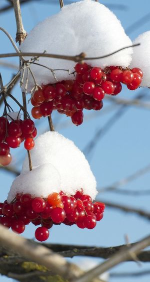 Fruit Red Food And Drink Berry Fruit Freshness Nature Cold Temperature Outdoors Winter Rowanberry Focus On Foreground Beauty In Nature Growth No People Day Close-up Rose Hip Food Snow Tree Snow ❄ Plant Beautiful Nature Nature Landscape