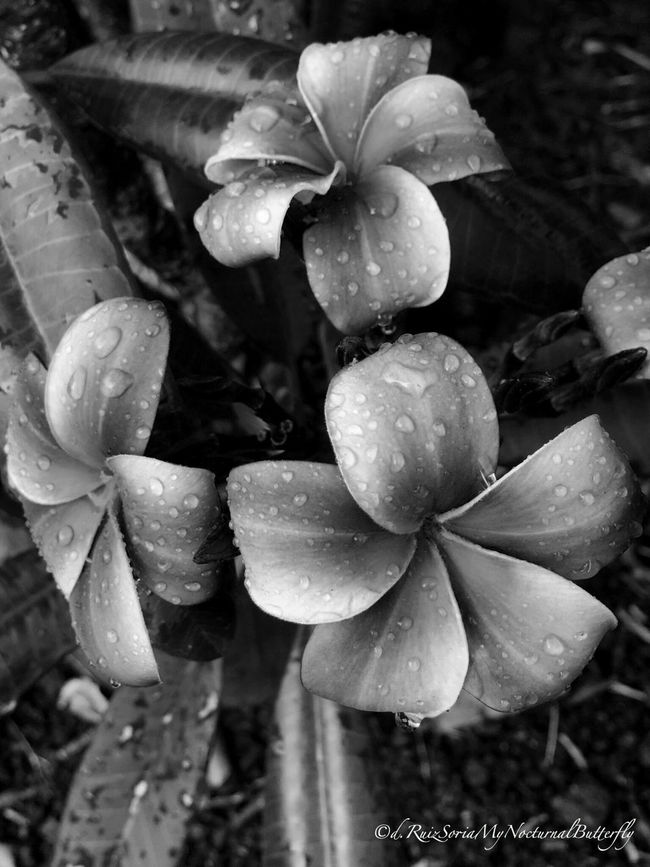Flower Rainy Days Flowerporn Water_collection Nature_collection EyeEm Best Shots - Flowers Flower Collection Bw_collection Textures And Surfaces Black And White
