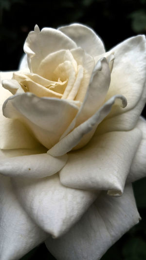 Beauty In Nature Blooming Blossom Botany Close-up Day Detail Flower Flower Head Focus On Foreground Fragility Freshness Growth In Bloom Natural Pattern Nature Petal Plant Rosa Rosa Blanca Rose - Flower Softness White Still Life White Rose