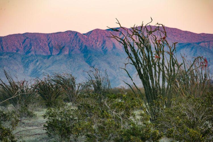 Scenics No People Nature Landscape Outdoors Sunset Mountain Nature Plant Ocotillo desert