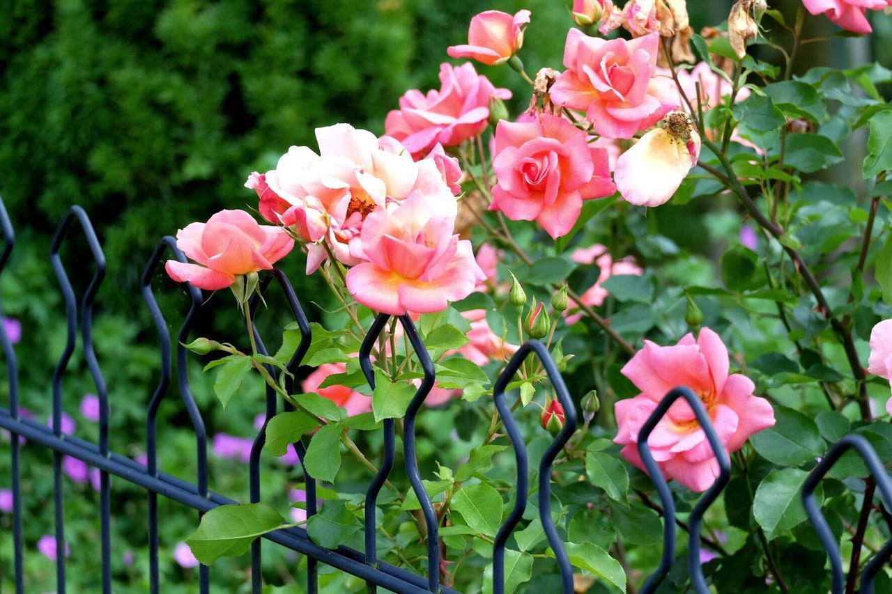 Roses Pink Roses Green Tuinen Van Appeltern Fence Garden Photography Nature Nature_collection Nature Photography Naturelovers Appeltern Garden Gardens The Netherlands Check This Out Taking Photos Flower