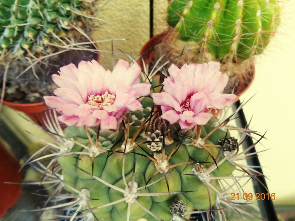 Flower Nature Plant Growth No People Cactus Day Close-up Outdoors Beauty In Nature Fragility Flower Head Freshness Cactus Cactus Collection Cactuslove Cactusflower Cactus Garden Cactus!:** Cactus Plant