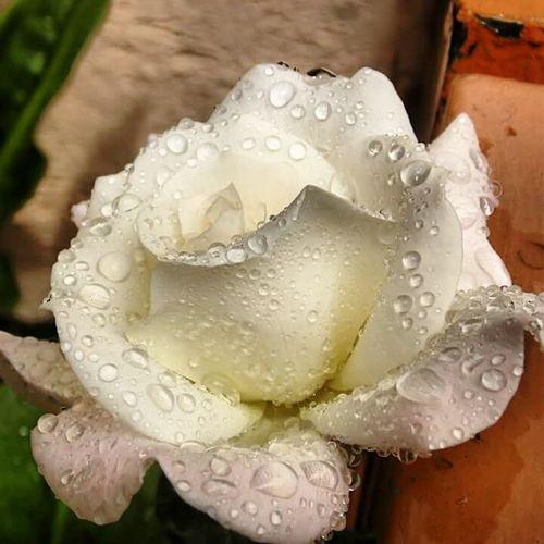 White Rose Rosa Blanca Lo Que La Lluvia Se Dejo