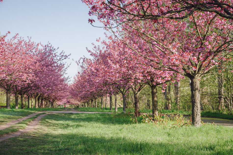 pink japanese cherry tree blossoms against blue sky Beauty In Nature Blossom Blue Sky Branch Copy Space Field Flower Grass Green Grass Growth Japanese Cherry Blossom Tree Japanese Cherry Blossoms Japanese Cherry Tree. Landscape Nature No People Pink Blossoms Pink Color Scenics Spring Spring 2017 Spring Flowers Springtime Tranquility Tree