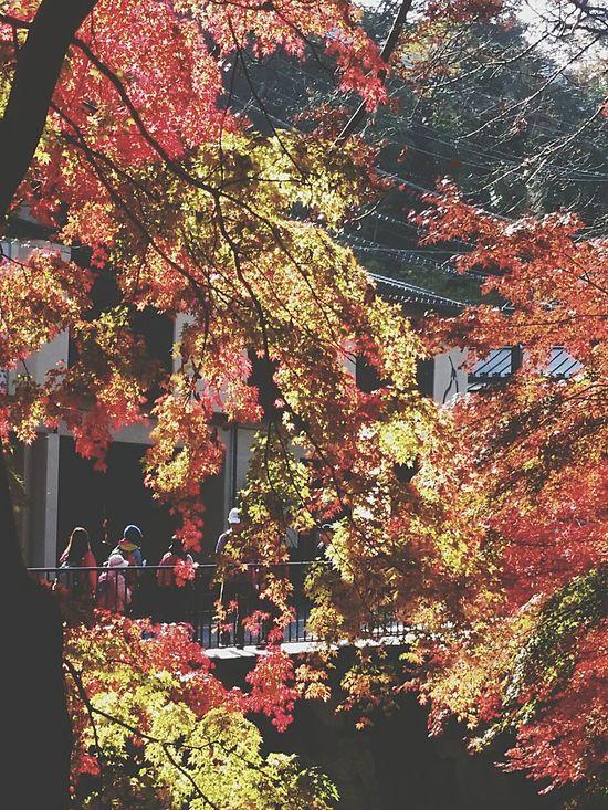 Japanautumnsplendour Autumnsplendour Takaoautumn2016 Japannature Takaoautumn Takaonature Maple Maple Trees Colourful Autumn Trees Colourful Maple Trees