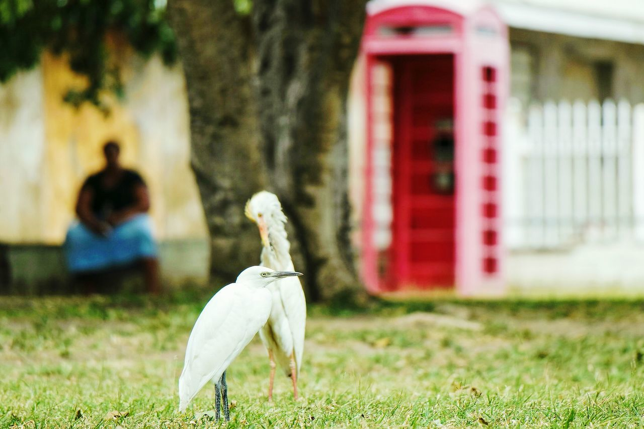 Another one from St. Kitts Bird One Animal Animal Animal Themes Grass Day Outdoors Nature Animals In The Wild No People Beauty In Nature Perching Travel Destinations Streetphoto_color EyeEm Best Shots Fresh 3 Eye4photography  Open Edit Streetphotography Beauty In Nature Real People