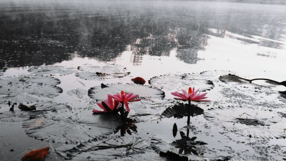 Flower Nature Beauty In Nature Water Flower Head Outdoors No People Early Morning Freshness