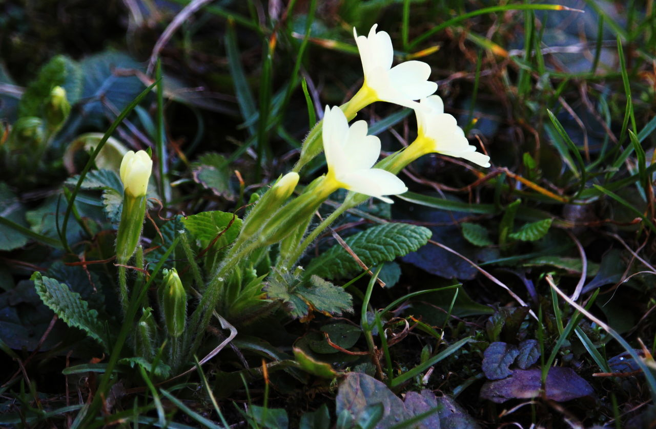 Ameno Town April 2017 Beauty In Nature Close-up Cowslips Day Flower Growth Leaf Nature No People Outdoors Plant