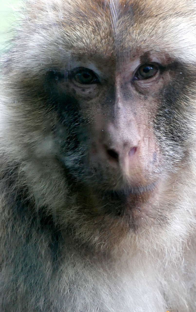 animal themes, monkey, animal wildlife, animals in the wild, one animal, mammal, portrait, looking at camera, close-up, no people, day, outdoors, japanese macaque