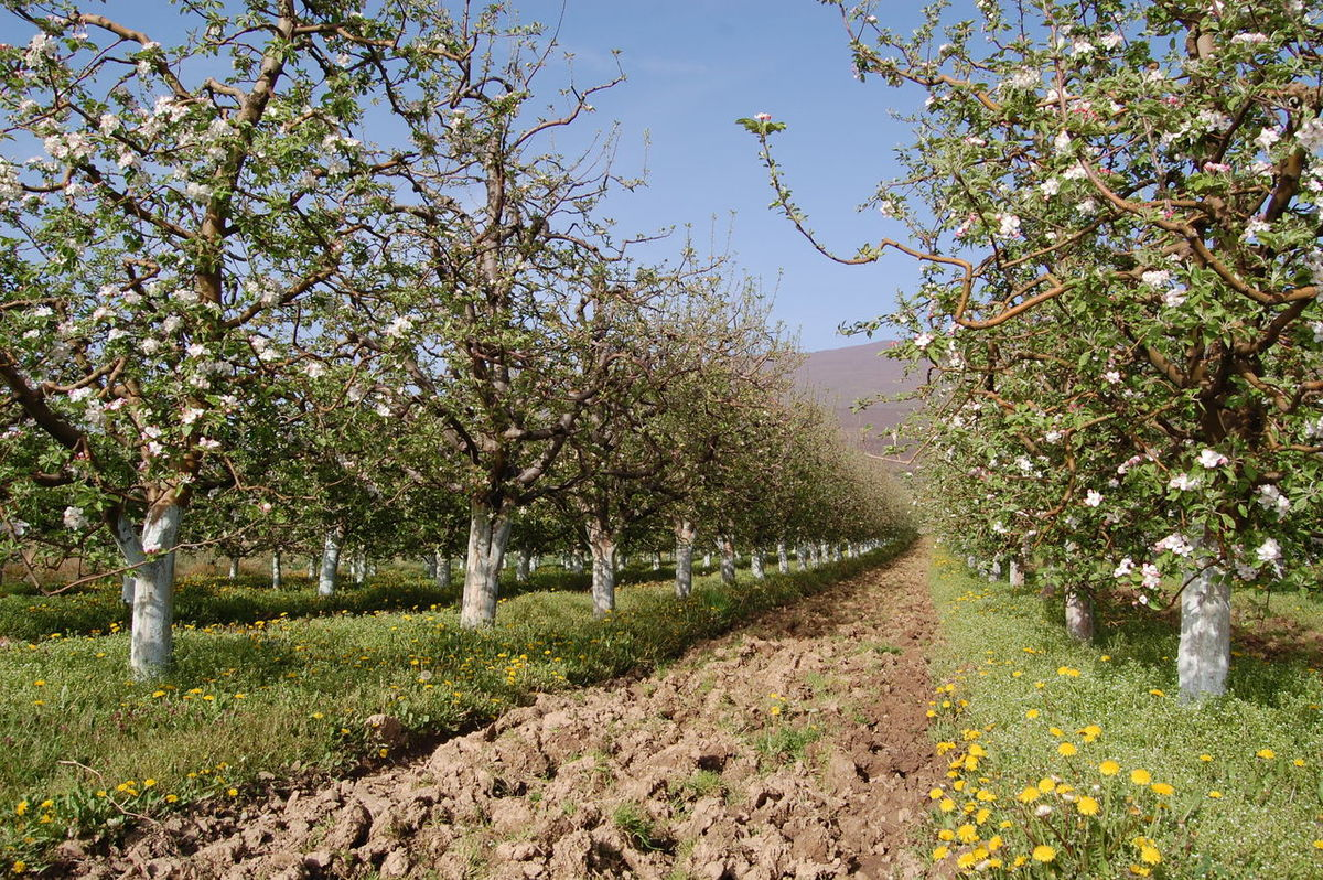 Agriculture Almond Tree Apple Flowers Apple Tree Beauty In Nature Day Fruit Growth Landscape Nature No People Outdoors Plant Scenics Sky Springtime Tree
