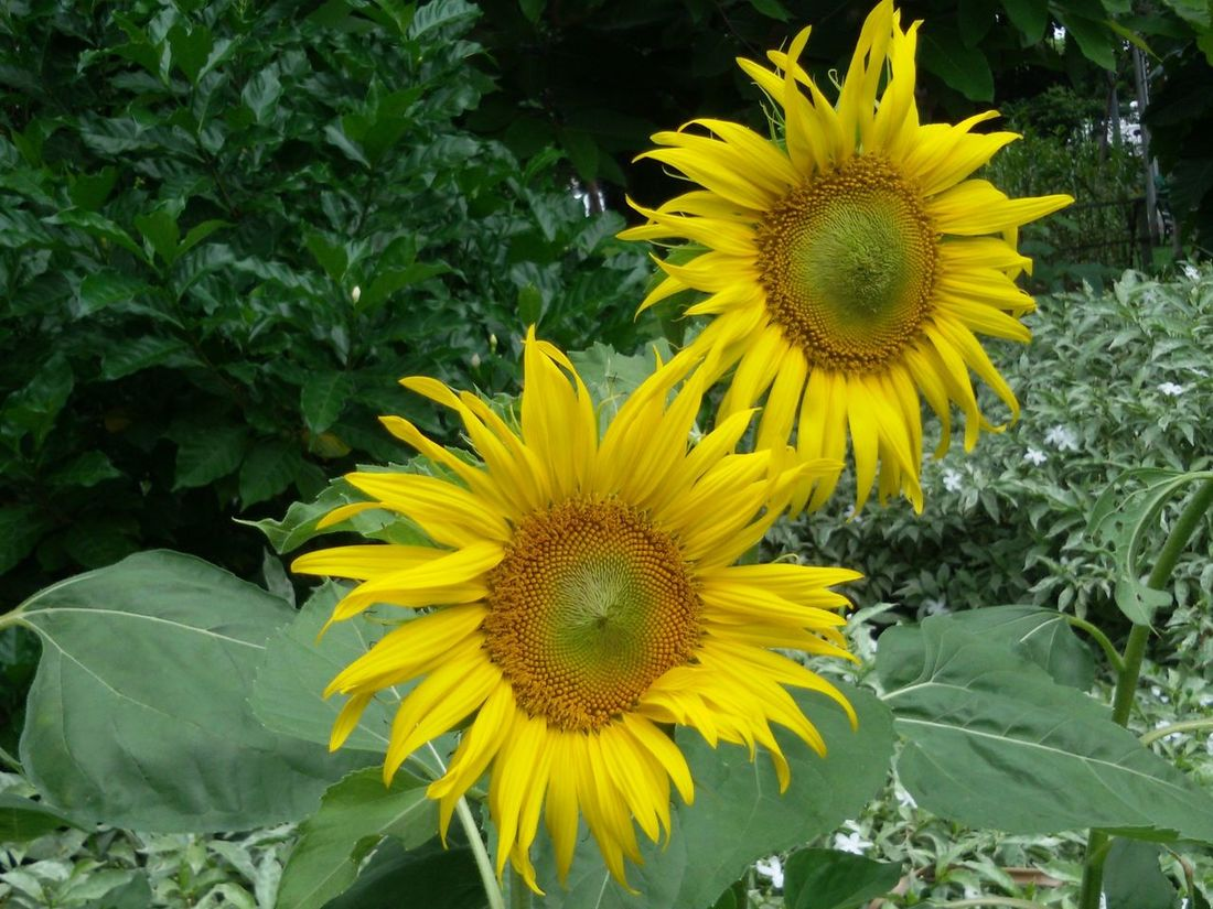 Beauty In Nature Close-up Flower Flower Head Fragility Freshness Sunfllowers Vibrant Color Yellow