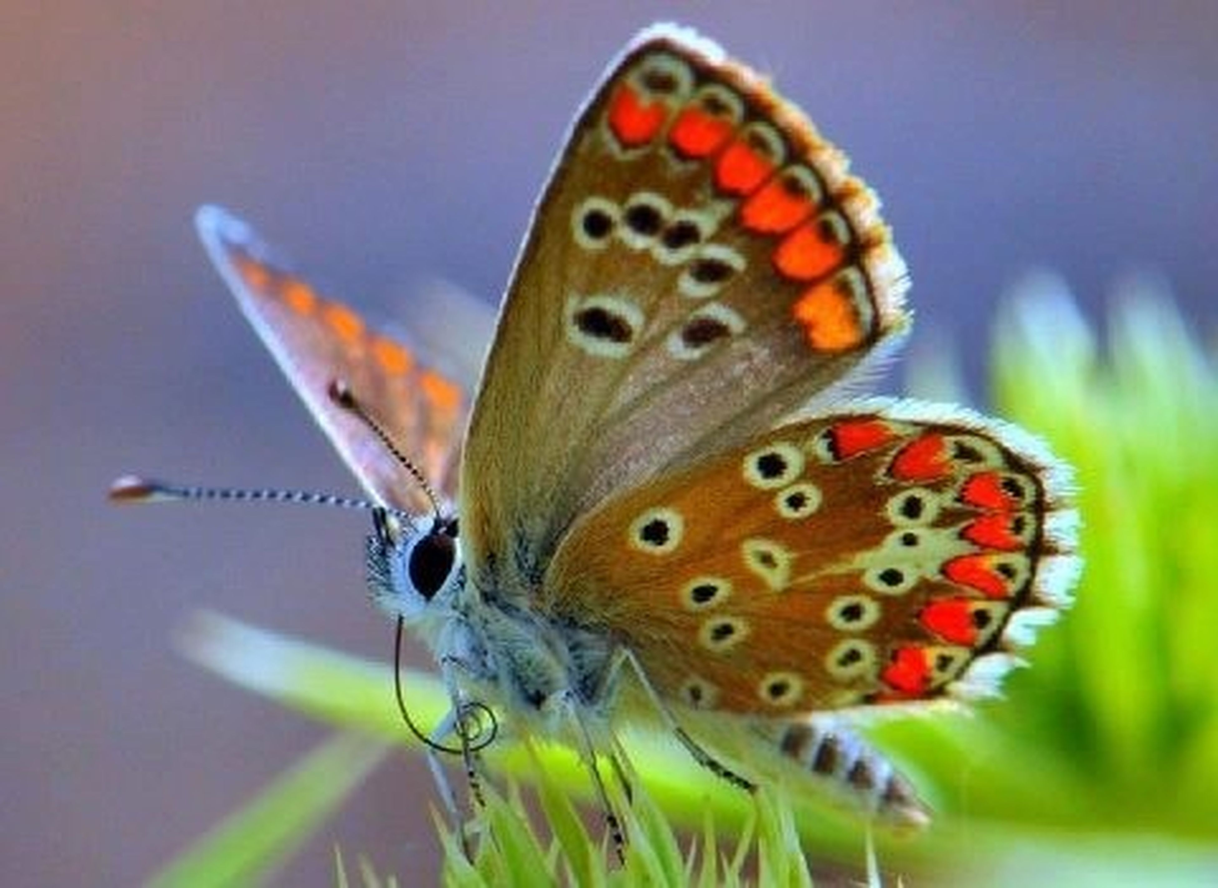 animal themes, animals in the wild, one animal, insect, wildlife, animal markings, close-up, butterfly - insect, butterfly, animal wing, focus on foreground, spotted, natural pattern, animal antenna, ladybug, selective focus, nature, beauty in nature, orange color, no people