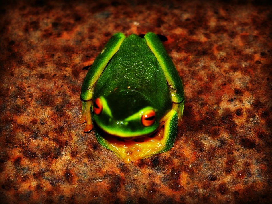 My favourite photographer of awesome red-eyed green tree frog is still relax and laying on the rustic barrow at night. Red Eyed Tree Frog Frog Love Frog Life Frog Eyes Beautiful Eye 😍👀👌🏾 Friends ❤ Reptile Photography Frog Portrait Green Frog 🐸🐸 Frog Collection Reptiles & Amphibians Reptile Collection Frog On Rustic Barrow Frog World FEELING RELAXED Marco Photography Marco Wildlife Photography Marco Beauty Frog Froggie Frogprince Frog Catching Frog At Night Frog Legs
