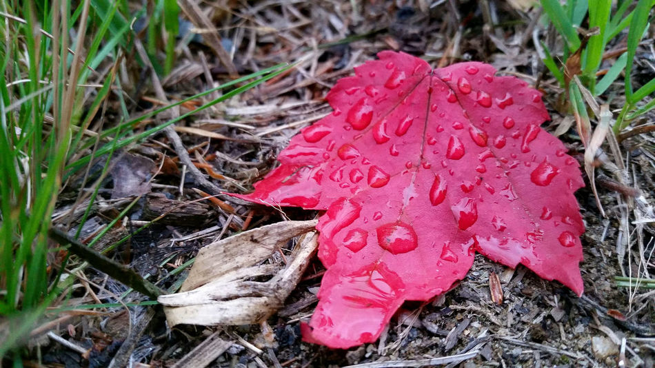 Fall Autumn Leaf Season Water Close-up Field Drop Wet Pink Color Red Nature Beauty In Nature Day Growth Freshness Fragility Outdoors Tranquility No People Messy