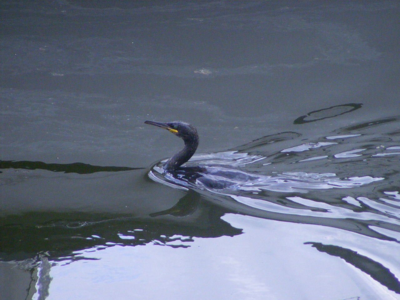 High Angle View Of Cormorant Swimming In Lake