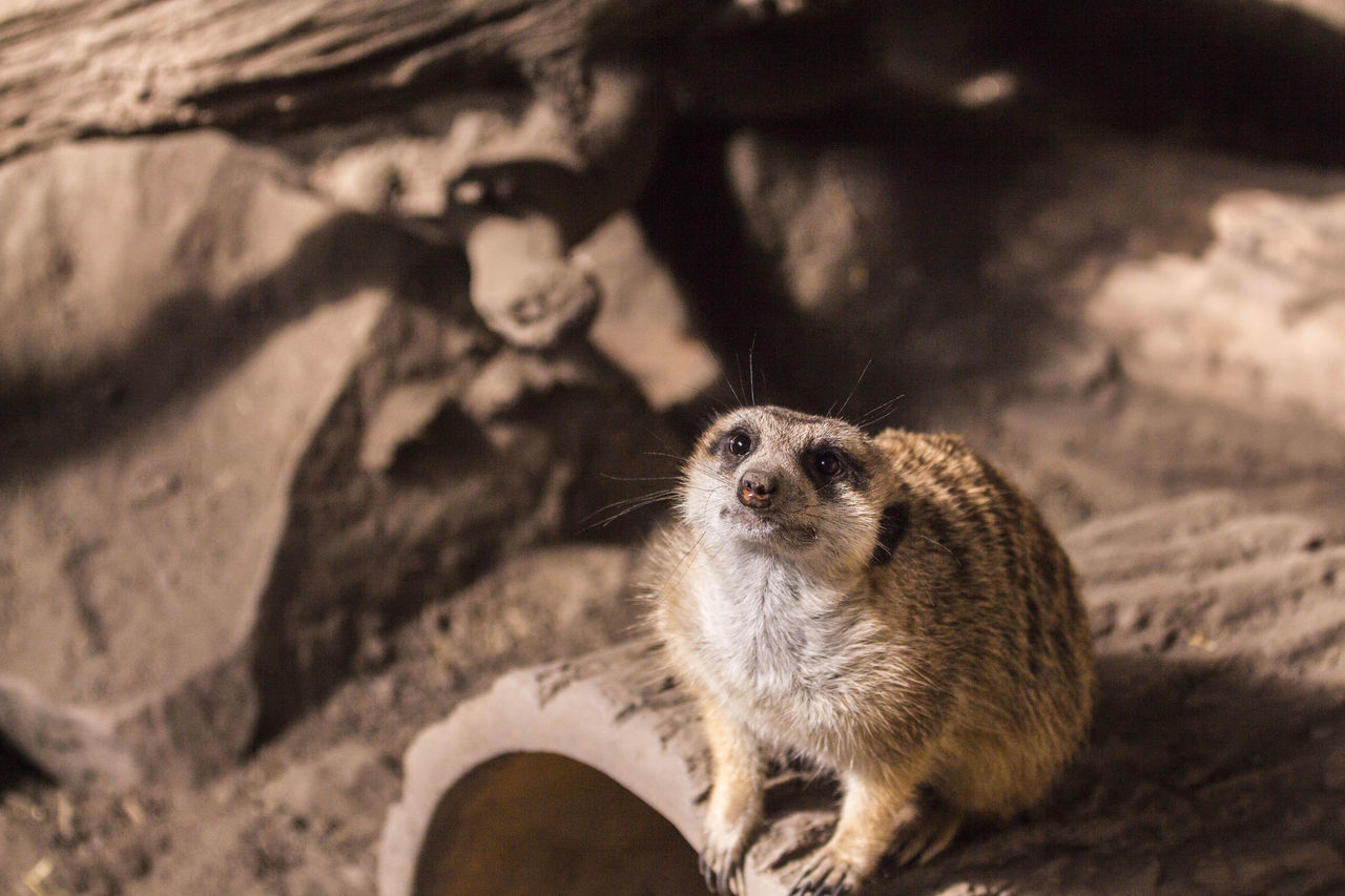 Animal Themes Focus On Foreground Meerkat No People One Animal Wildlife Zoo Zoo Animals  Zoology Zoophotography