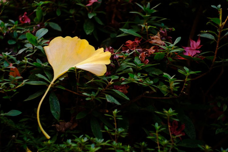 『15:25:17』 2016-12-02 Leaf Autumn Plant Yellow Nature Change Maple Leaf Green Color Outdoors Beauty In Nature Close-up No People Freshness Day