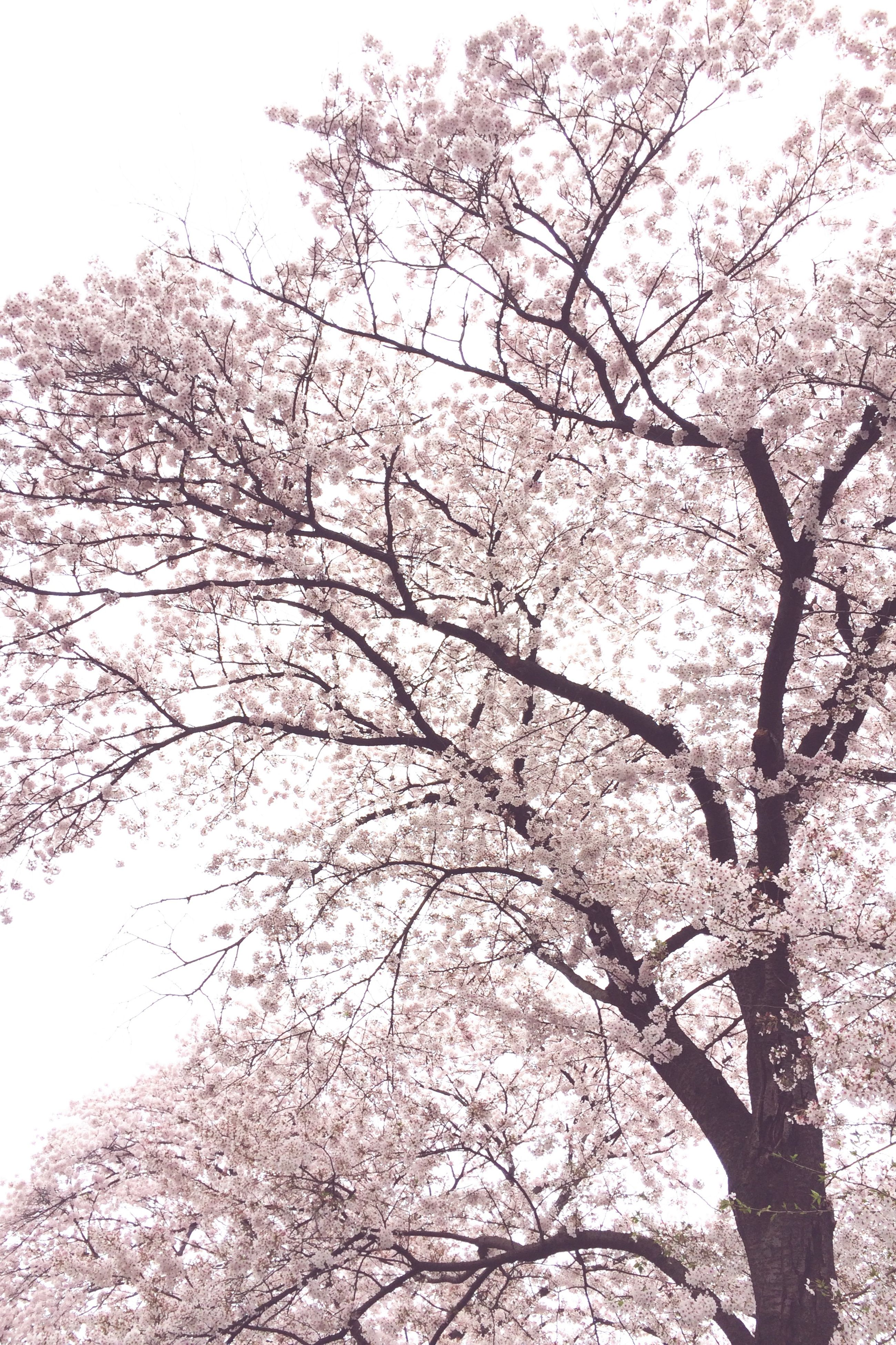 tree, branch, low angle view, growth, beauty in nature, nature, sky, cherry blossom, bare tree, tranquility, cherry tree, flower, clear sky, day, blossom, outdoors, scenics, freshness, no people, springtime