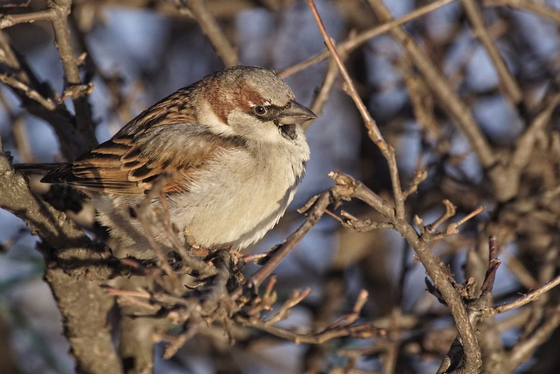 House Sparrow Showcase January 2018 2018 Jan Niklas Animal Wildlife Focus On Foreground One Animal Close-up No People Day Nature Animals In The Wild Outdoors Animal Themes Perching Branch Tree Bird Full Length Beauty In Nature Shades Of Winter