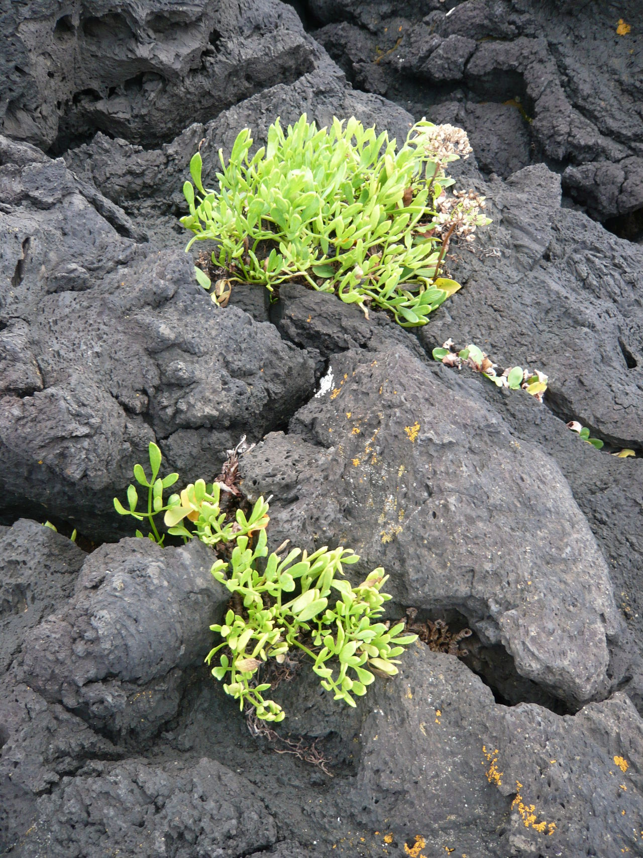 Green on Volcanic Ground Azores Beauty In Nature Close-up Day Flower Flower Head Freshness Green Color Growth Leaf Nature No People Outdoors Plant Social Issues Sunlight Vulcanic Landscape Vulcanicisland Wildflower