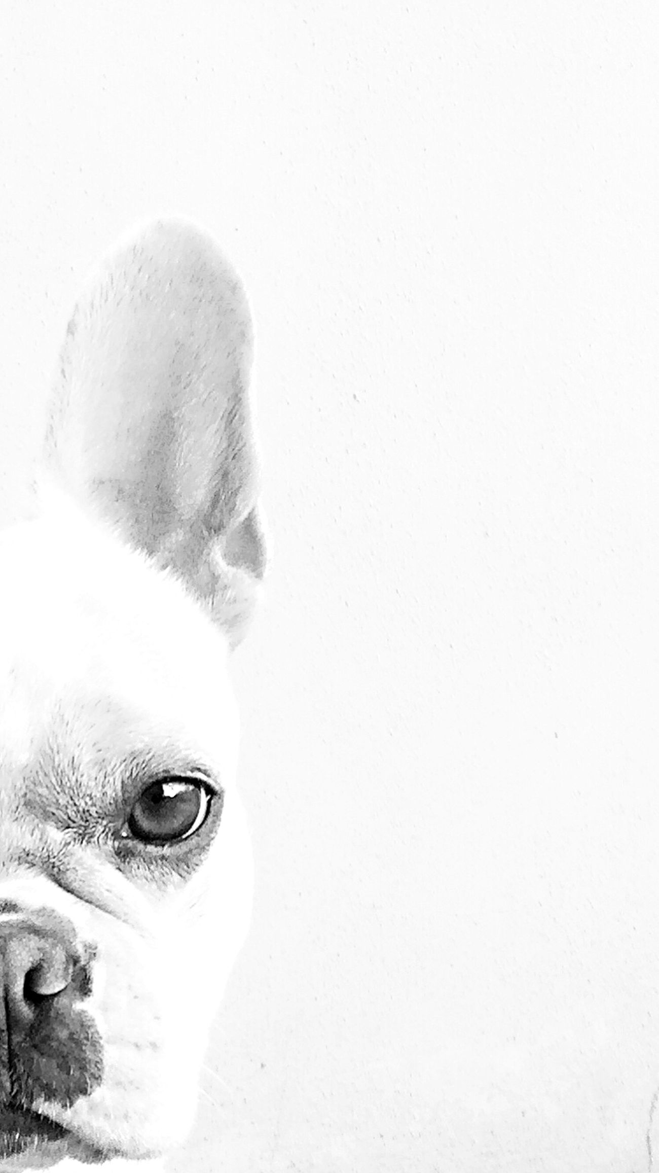Blackandwhite Mydog Chloe Frenchbulldog Pets
