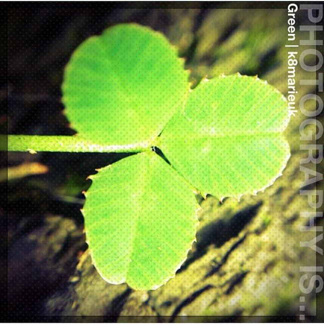 Photooftheday InstaCC Instacccolorsd3 Green K8marieuk Photo365 Macro Closeup Olloclip Olloclipmacro Clover Nature Lucky Igers Instagrammers Photooftheday HDR Iphoneonly Hdraddict Phototoaster