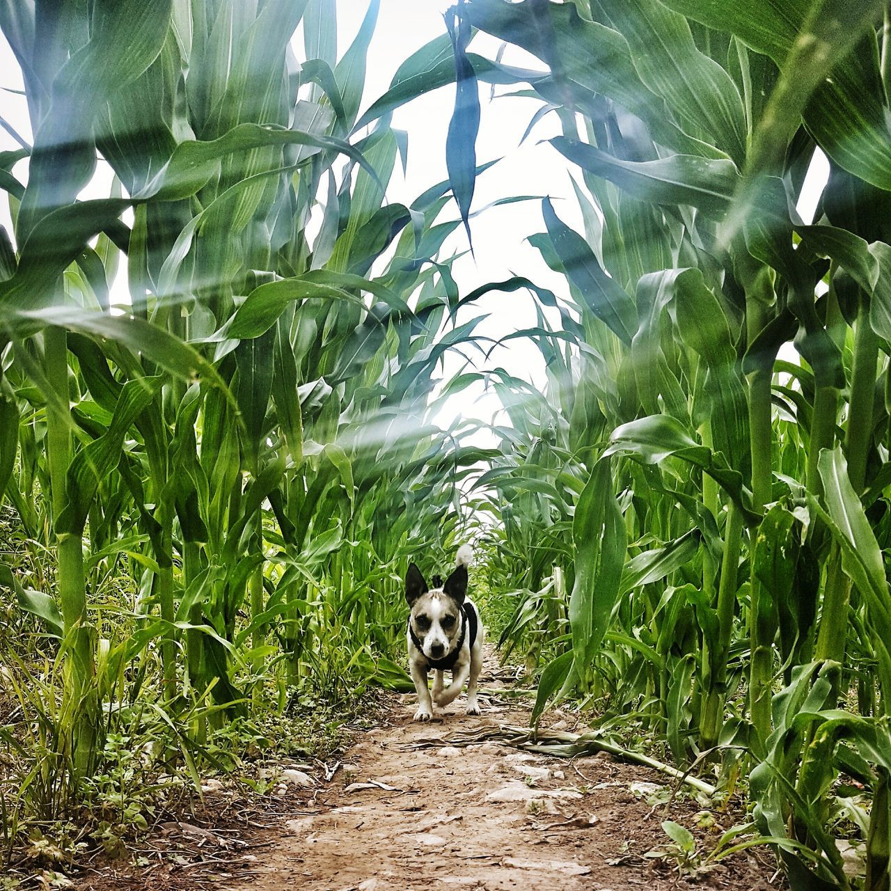 Jack russell in the maize Animal Themes One Animal JAck Russel Domestic Animals Dog Pets mAize s Weetcorn