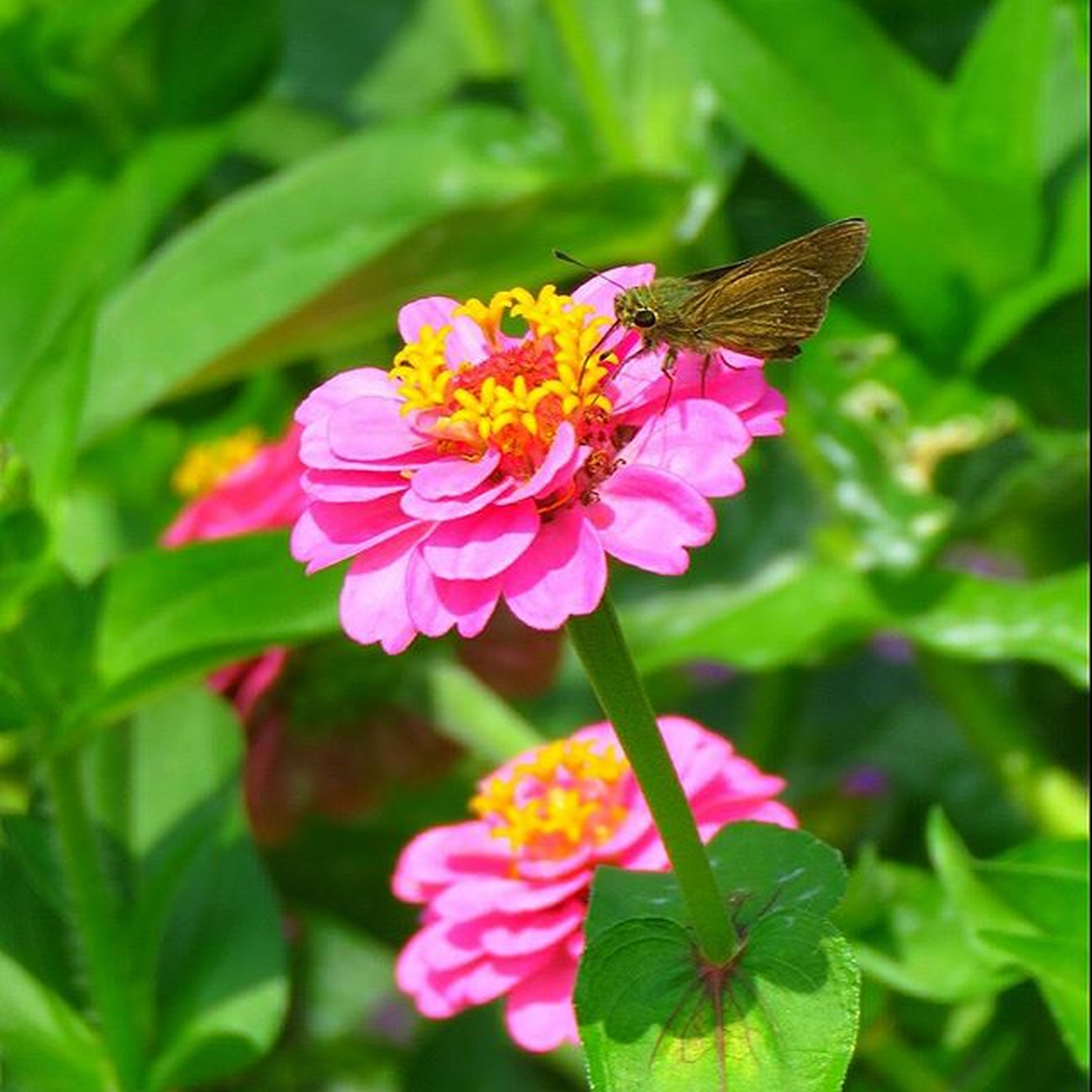 flower, one animal, insect, animal themes, freshness, animals in the wild, wildlife, petal, fragility, pollination, flower head, beauty in nature, growth, pink color, close-up, focus on foreground, nature, plant, symbiotic relationship, blooming