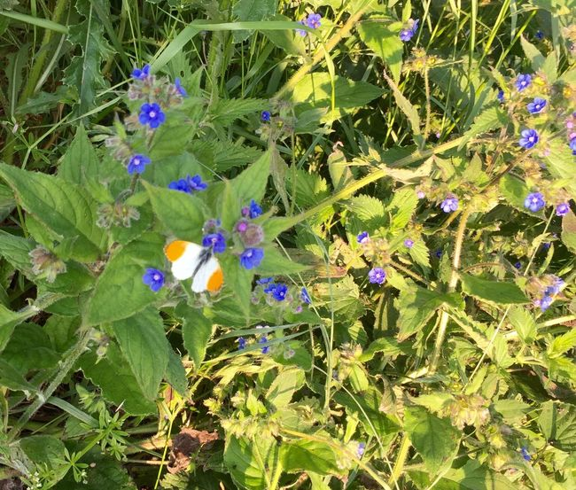 Butterfly Orange Tip Butterfly Essex Nature's Diversities Sunshine