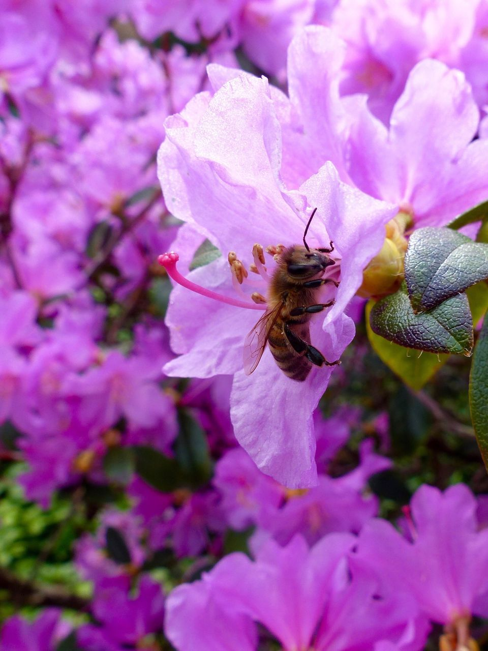 flower, fragility, petal, one animal, nature, growth, beauty in nature, freshness, insect, no people, animals in the wild, animal themes, flower head, pink color, outdoors, springtime, close-up, bee, pollination, day, blooming