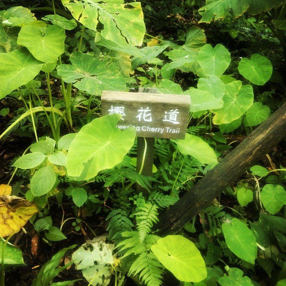 櫻花道 金瓜石 基隆 遊ぶ