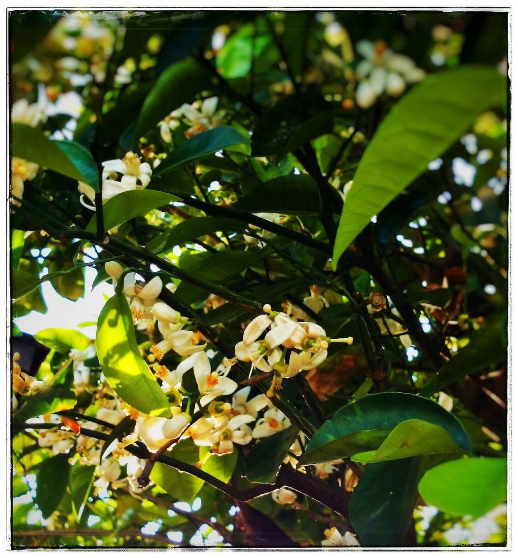 今年はどれだけ実がなるかなぁ。。そばを通るとふわっと香る、、いい香り。。自然の香りって好きっ♪ Flower 香り 癒し