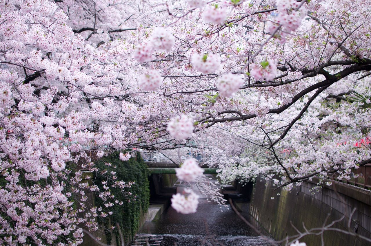 Sakura Trees Aling The River Cherry Blossom Springtime Spring Has Sprung