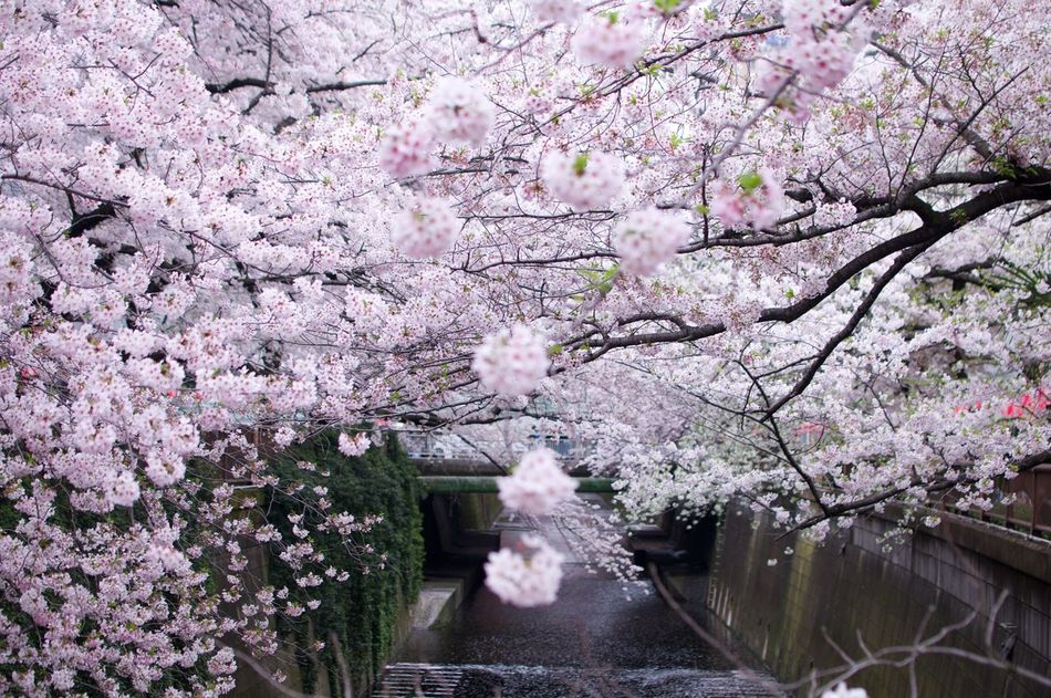Sakura Trees Aling The River Cherry Blossom Springtime Spring Has Sprung
