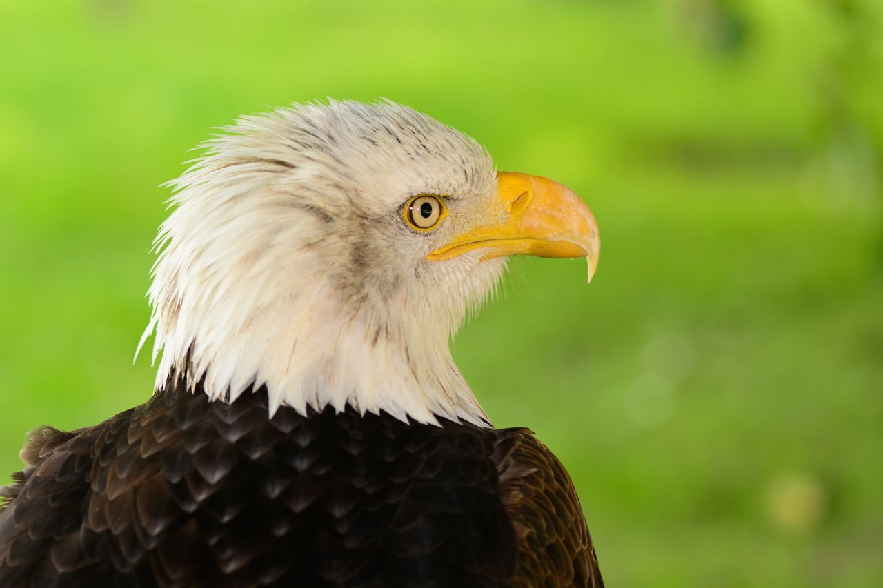 Animal Themes Animal Wildlife Animals Animals In The Wild Bald Eagle Beauty In Nature Bird Birds Check This Out Close-up Day Eagle Eye4photography  EyeEm Best Shots EyeEm Nature Lover Focus On Foreground Nature Nature_collection No People One Animal Outdoors Portrait Selective Focus Taking Photos Wildlife