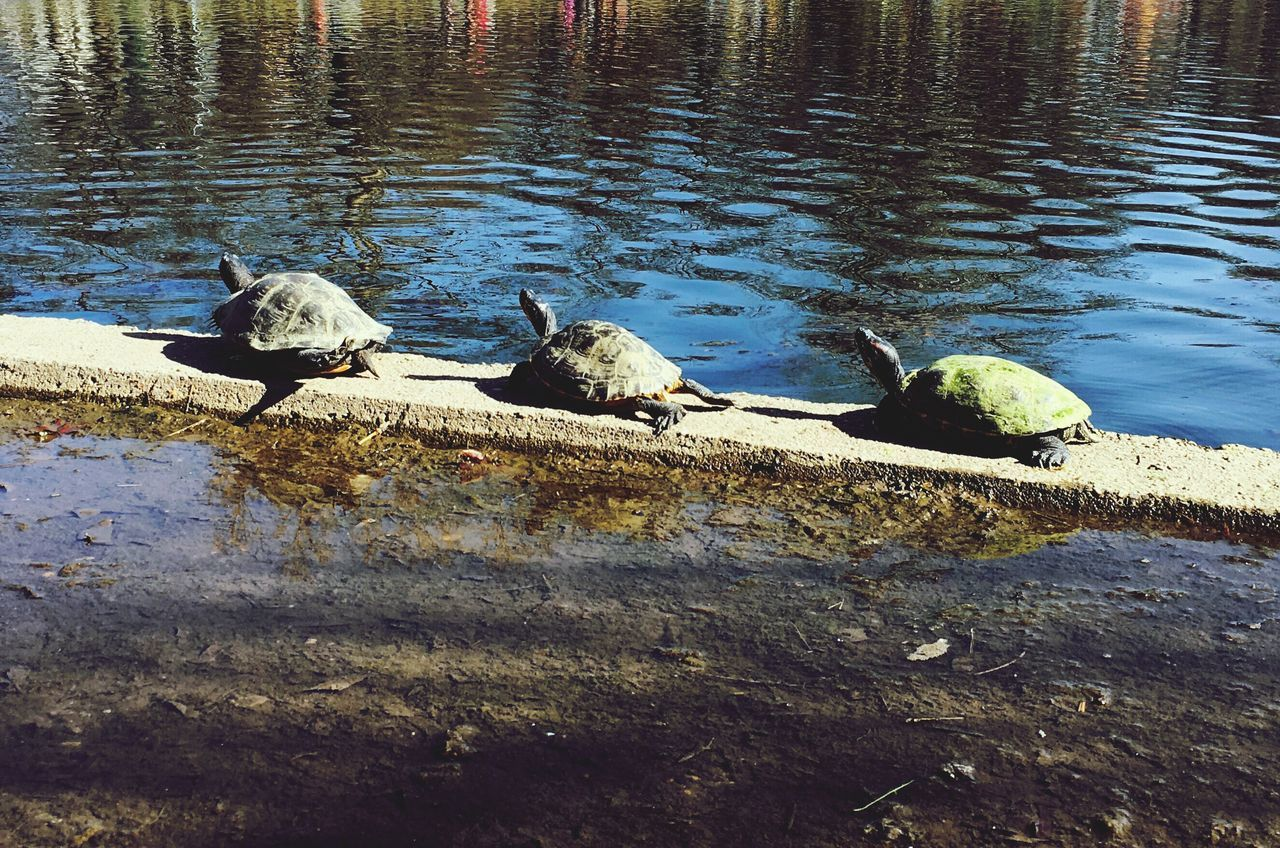 Turtles in the Sun No People Turtle 🐢 Turtle Love Animal Themes Outdoors Turtles Turtles In The Sun Turtles(: Turtles Sunning