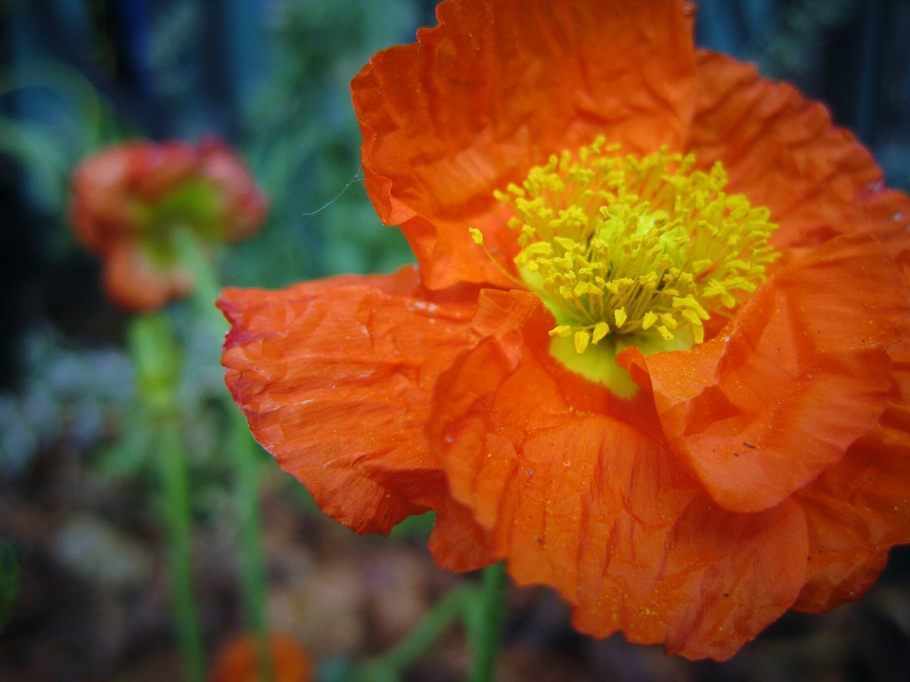Orange poppy Flower Nature Beauty In Nature Close-up Springtime Plant Petal Flower Head Outdoors EyeEm EyeEm Best Shots - Flowers EyeEm Best Shots - Nature EyeEm Flower EyeEm Nature Lover EyeEmBestPics EyeEmNewHere Blossom Bloom Perennial EyeEm Best Shots EyeEm Gallery Pollen Blooming Orange Poppies