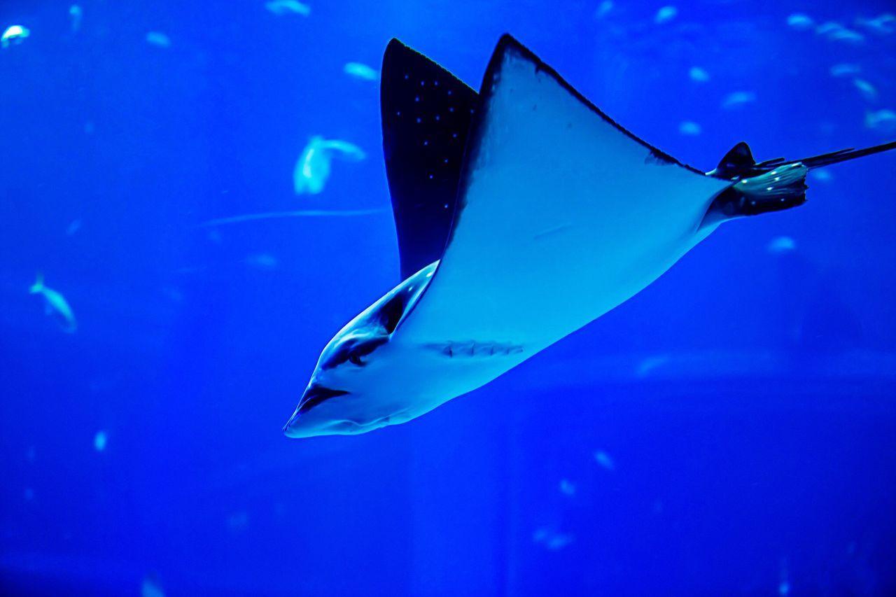 Ray Stingray Swimming Fly Aquarium Blue Canon5Dmk3