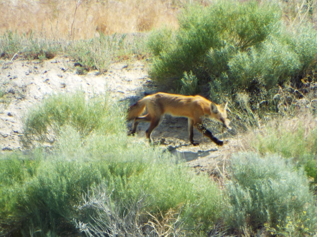 Hungry Fox Little America Wyoming Wildlife Photography Feel The Journey Travelphotography Animals In The Wild Outdoor Photography Nature Photography Wild Animals Wyoming Adventure Outdoors❤ Wildlife & Nature Wyomingwildlife Fox Eating Fox Tail Fox🐺 Nature Foxtail