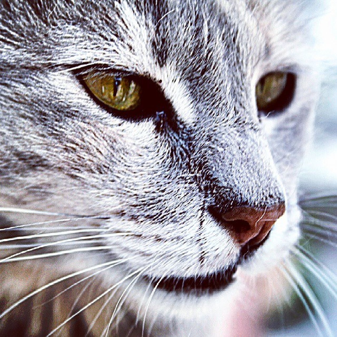 one animal, domestic cat, animal themes, pets, domestic animals, feline, portrait, whisker, mammal, animal head, close-up, looking at camera, no people, yellow eyes, outdoors, day