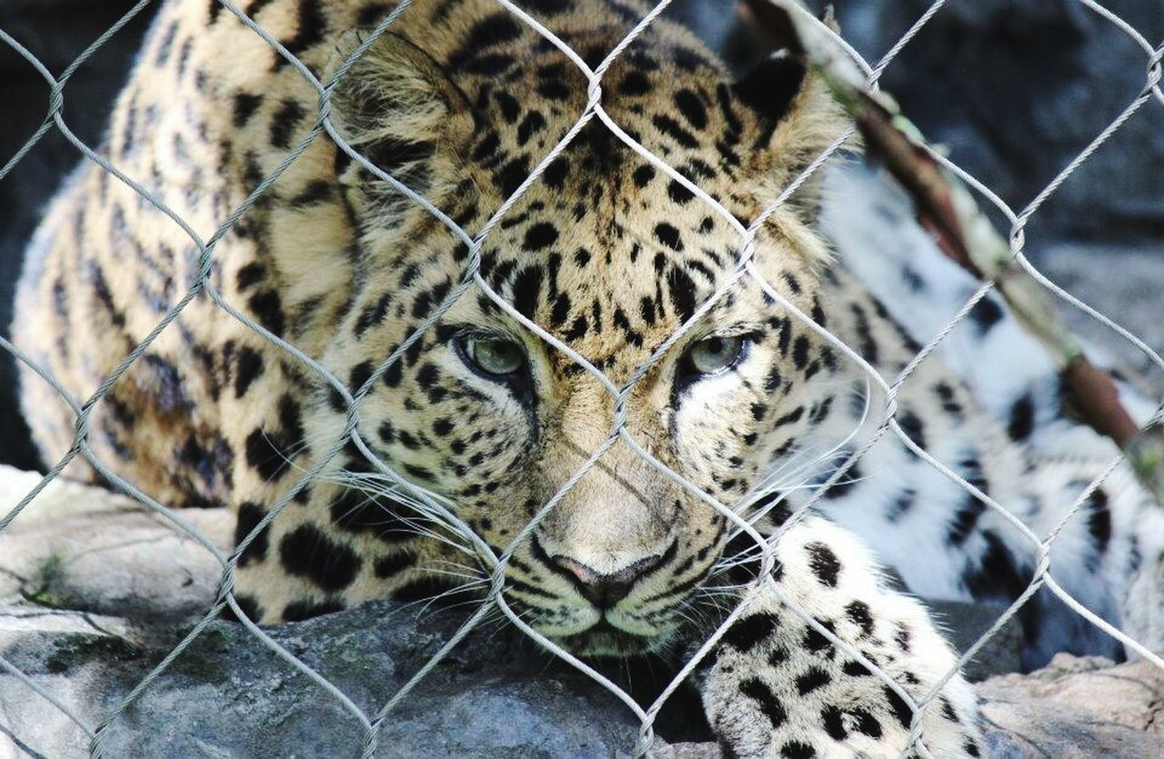 One Animal Animal Wildlife Animal Themes Mammal Animals In The Wild Tiger Cage Animal Markings Day Leopard Outdoors No People Nature Close-up Zoo Cheetah Behind The Cage EyeEmNewHere EyeEmNewHere The Week On EyeEm
